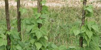 fasulye yetiştiriciliği