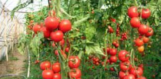 örtüaltı domates