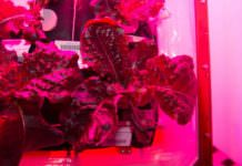 space-lettuce-purple(2)