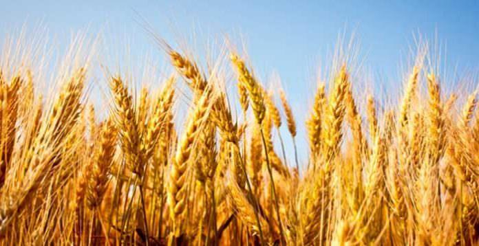 TZOB Buğdayda kuraklık sigortası dönemi başlıyor