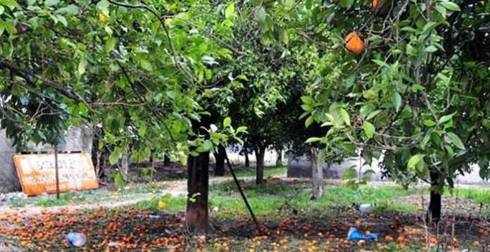 Yere dökülen portakal çamur nedeniyle bahçede kaldı