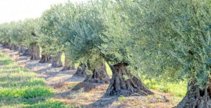 Harran ovasına proje kapsamında 1 milyon zeytin fidanı dikilecek
