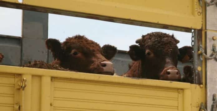 Sığır cinsi hayvan ithalatında düzenleme