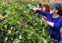 Türkiye'nin ilk tropik meyve projesinden sevindirici haber geldi