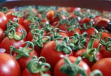 Çanakkale domatesinde yüksek rekolte beklentisi