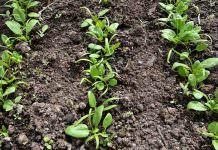 Ispanak Yetiştiriciliğinde Toprak İsteği
