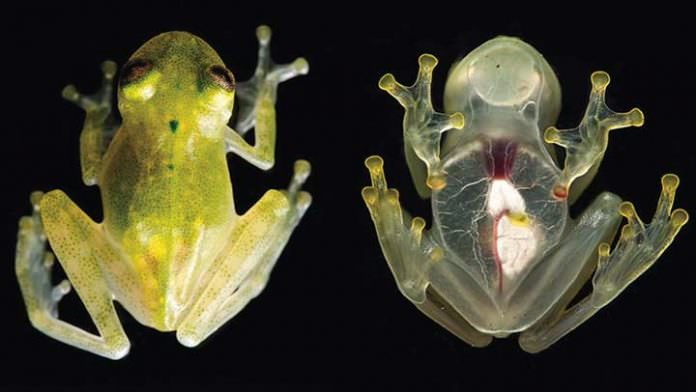 Çıplak Gözle Kalbi Görülebilen Yeni Bir Kurbağa Türü Keşfedildi!