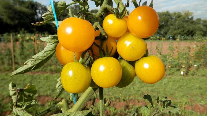 Almanlar 'Açık Kaynak Bitki Tohumları' Geliştiriyor