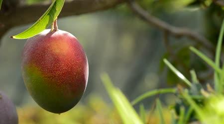 Tropik Meyve Sayısı Gazipaşa'da 17'ye Yükseldi