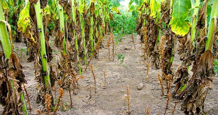 """Yaşamı konukçusuna bağlı  """"Tam parazit"""" bir yabancı ot olan orabanşın kendi yeşil yaprakları bulunmadığı için fotosentez yapamıyor. Konukçu olduğu bitkinin su ve besinine bağımlı bir yaşam süren bitki, zamanla konukçusunun gelişmesinin geri kalmasına, hatta ölümüne neden oluyor.  Bir bitkinin türe göre değişmekle birlikte ortalama 5 bin-100 bin arasında tohum ürettiği ve bu tohumların yaklaşık 10 yıl süre ile canlılığını yitirmeden toprakta kalabildiği göz önüne alındığında, orobanş mücadelesinin ne denli meşakkatli ve önemli olduğu açıkça ortaya çıkıyor.  Mücadele sertifikalı tohumla başlıyor  Orobanş ile mücadelede öncelikli olarak bulaşmanın engellenmesi gerekiyor. Bunun için dikkat edilmesi gerekenler; sertifikalı tohum kullanımı, ayçiçeği yetiştiriciliğinde dayanıklı çeşitlerin tercih edilmesi, sulama suyunun orobanş tohumu içermemesine özen gösterilmesi.  Araziden toplanan orobanşların üretim alanından uzaklaştırılarak imha edilmesi, bulaşık alanlarda kullanılan alet ile makinelerin dezenfekte edilmesi zorunlu. Ayrıca üreticilerin orobanş ile bulaşık alanlarda hayvan otlatmaması gerekiyor."""