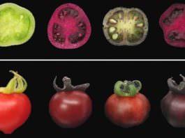 Pancar Pigmentleri Bitkilerin Hastalıklara Direncini ve Besin Değerini Artırıyor