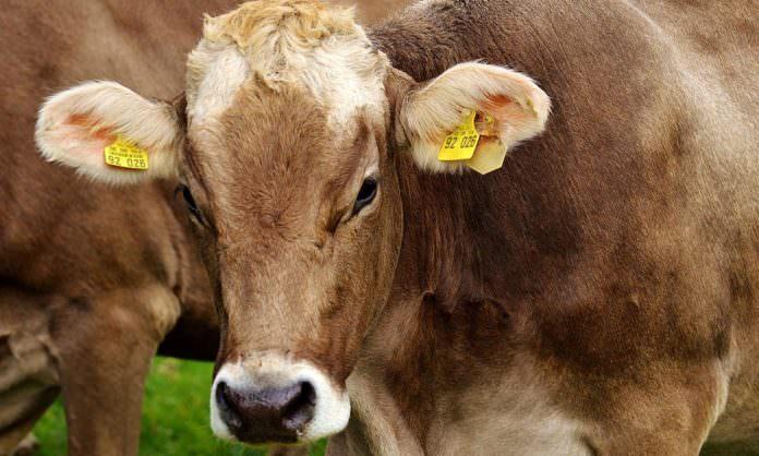 FAO, hayvan hastalıklarına cevap aramak için toplanıyor