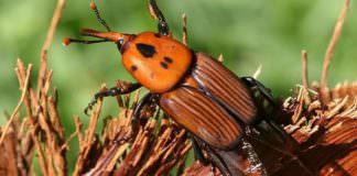 Palmiye Kırmızıböceği: Türkiye'de Hızla Yayılan Bir Tehlike