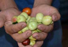 'Ölümsüzlük meyvesi' için Bakanlık harekete geçti!