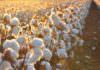 Türkiye, GDO'suz pamuk veriminde zirvede