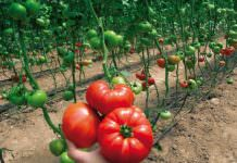 TarımTV: Örtüaltı Domates Yetiştiriciliği