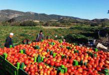 datca-domates