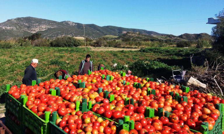 Datça domatesi üreticiyi güldürdü