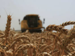 Siz Yetiştirin Bir Satın Alma Garantisi Veriyoruz Dedi Makarnalık Buğday