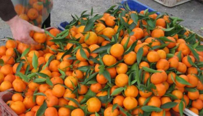 Rize'de Mandalinalar Hasat Edilmeye Başladı