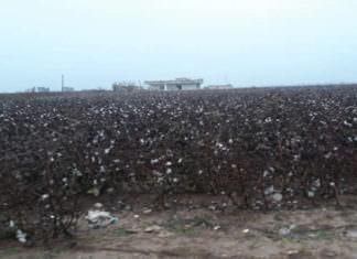 Aşırı Yağışlardan Dolayı Çiftçi Pamuğu Tarlada Bıraktı