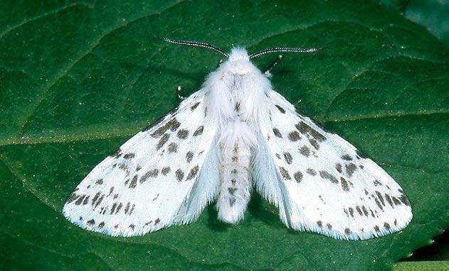 Fındık zararlısı beyaz kelebeğin rakibi sahaya iniyor!