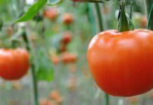 11 bin ton domates çöpe gidecek