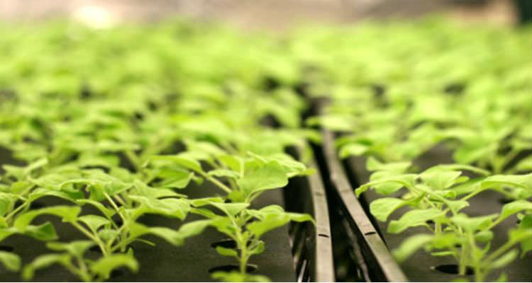 Maliyetler Düşecek! Hibrit tohumların özellikleri korunarak doğal yolla klonlandı