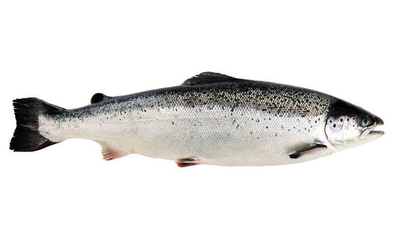 Karadeniz Alabalığı Norveç Somonu ile Yarışıyor