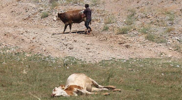 Tunceli'de, merada otlayan hayvanlar zehirlendi