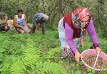 Mevsimlik tarım işçileri fındık hasatı için Ordu'da.