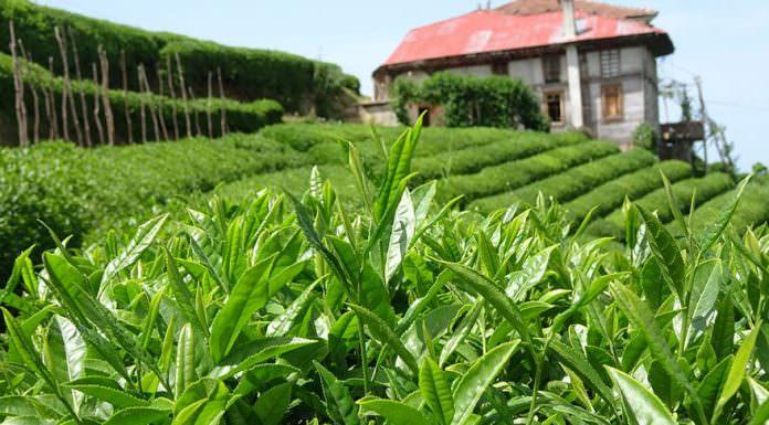 2019 Organik yaş çay taban fiyatı belli oldu