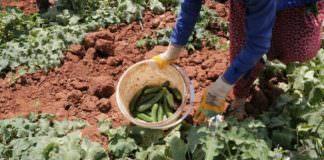 Salatalığın kilosu tarlada 50 kuruş