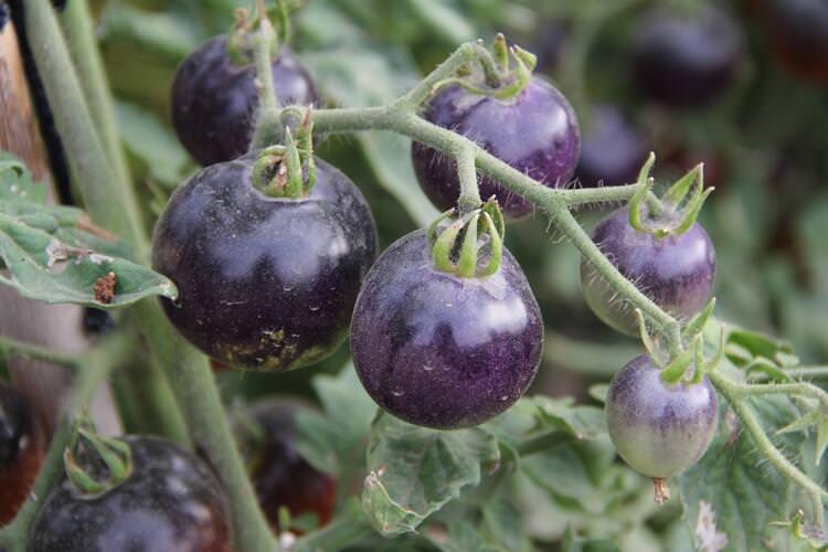 O şehirde siyah domates yetiştiriliyor
