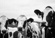 Artan maliyetler can yakıyor: Süt üreticileri ineklerini satmaya başladı