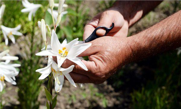 Akzambak bitkisi 5 pazara birden hitap ediyor