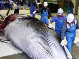 Japonya 33 yıl aradan sonra ticari balina avcılığına izin verdi