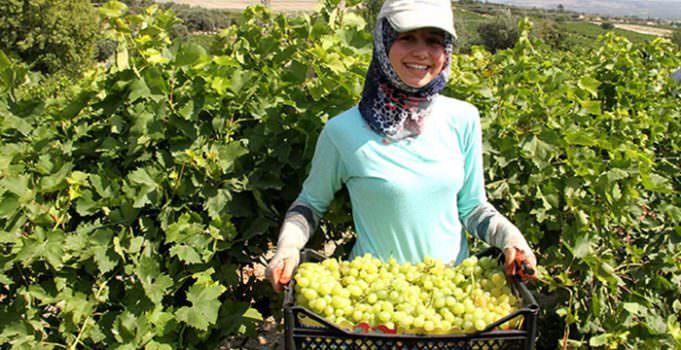 Mersin'de üzüm hasadı başladı