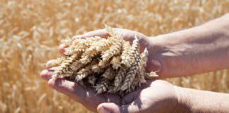 Yerli tohum 'Hüseyinbey' çiftçiyi kalkındıracak