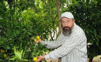 15 yıllık portakal ağacı, 5 ay önceden meyve verdi