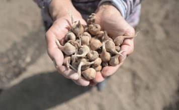 'Mucize bitki'nin tohumları toprakla buluştu