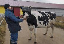 Sanal Gerçeklik Gözlüğü Takılan İneklerin Süt Üretimi ve Kalitesi Arttı