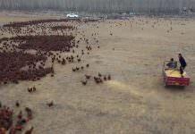 70 bin horozu bulunan çiftçi (VİDEO)
