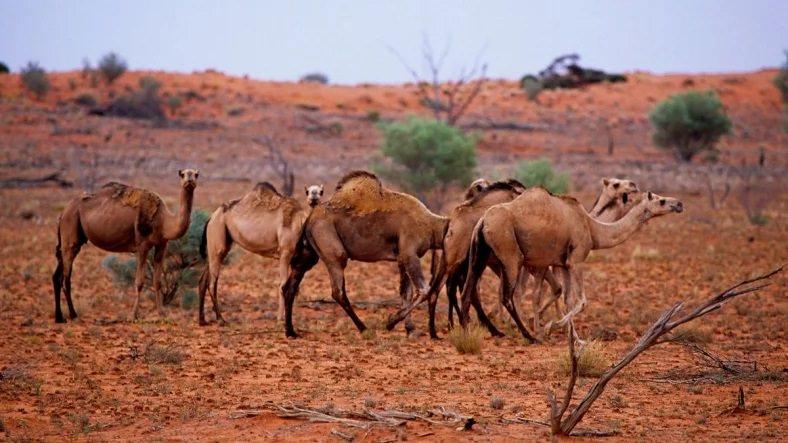 Avustralya'da 10 Binden Fazla Deve Öldürülecek