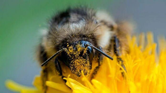 Bombus Arıları, İklim Değişikliği Nedeniyle Hızla Yok Oluyor