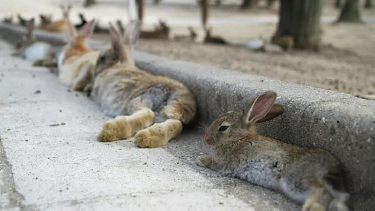 ABD'de Binlerce Tavşan Ani Bir Hastalık Nedeniyle Öldü