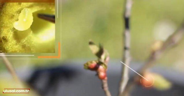 Kestanede 'Gal arısı' alarmı (video)