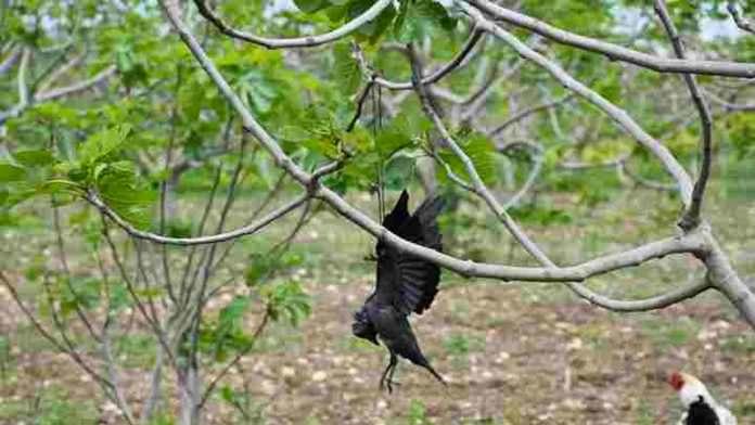 Kargaları vurup, incir ağaçlarına astı