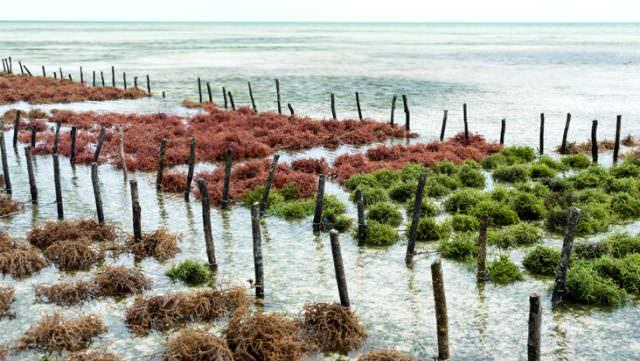 Deniz yosunu üreten şirketlerinin değeri 6 milyar dolara ulaştı