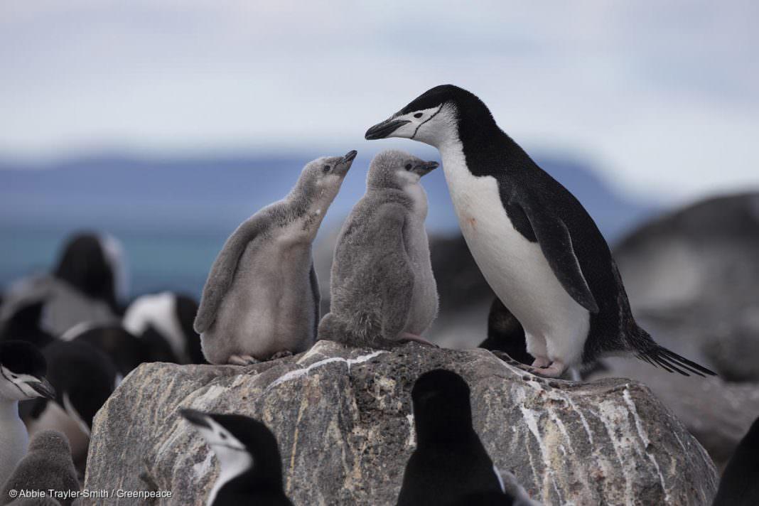 Ölü penguenin midesinden bakın ne çıktı?